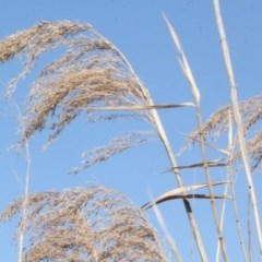 Phragmites australis (Common reed) at Fyshwick, ACT - 22 Aug 2019 by PeteWoodall