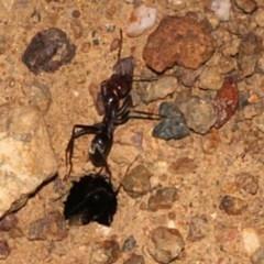 Iridomyrmex purpureus (Meat Ant) at Woodstock Nature Reserve - 22 Aug 2019 by PeteWoodall