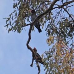 Eurystomus orientalis (Dollarbird) at Federal Golf Course - 22 Jan 2020 by JackyF