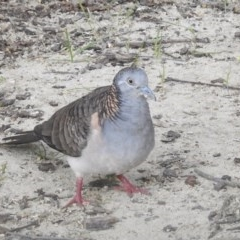 Geopelia humeralis (Bar-shouldered Dove) at Wingecarribee Local Government Area - 23 Jan 2020 by GlossyGal