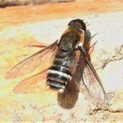 Villa sp. (genus) (Unidentified Villa bee fly) at Mulligans Flat - 21 Jan 2020 by JohnBundock