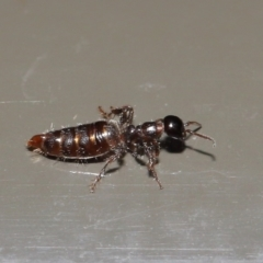 Tiphiidae sp. (family) at Acton, ACT - 17 Jan 2020