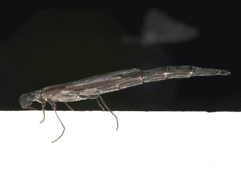 Atractocerus sp. (genus) at Ainslie, ACT - 22 Jan 2020