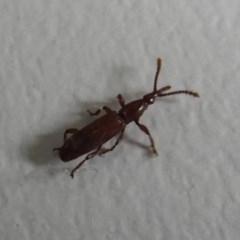 Cordus sp. (genus) (Brentid weevil) at Flynn, ACT - 23 Jan 2020 by Christine