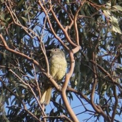 Ptilonorhynchus violaceus (Satin Bowerbird) at Red Hill Nature Reserve - 24 Jan 2020 by JackyF