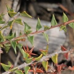 Acacia gunnii at ANBG - 23 Aug 2019