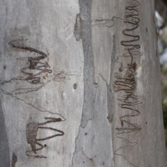 Eucalyptus rossii (Inland Scribbly Gum) at ANBG - 23 Aug 2019 by PeteWoodall