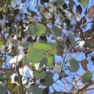 Eucalyptus polyanthemos at ANBG - 23 Aug 2019