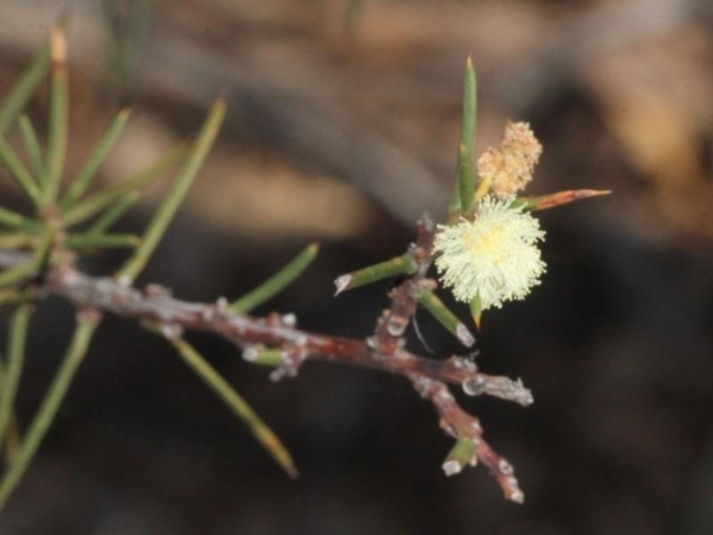 Acacia genistifolia at ANBG - 23 Aug 2019