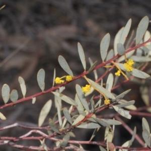 Acacia buxifolia subsp. buxifolia at ANBG - 23 Aug 2019