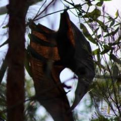 Pteropus poliocephalus (Grey-headed Flying-fox) at Moruya, NSW - 24 Jan 2020 by LisaH