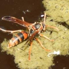 Polistes (Polistella) humilis (Common Paper Wasp) at Acton, ACT - 25 Jan 2020 by Christine
