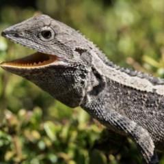 Amphibolurus muricatus (Jacky Lizard) at Forde, ACT - 24 Jan 2020 by dannymccreadie