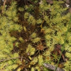 Breutelia (A moss) at Acton, ACT - 23 Aug 2019 by PeteWoodall