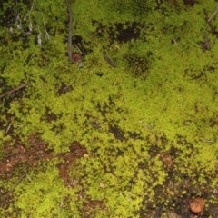 Dawsonia (A moss) at Acton, ACT - 23 Aug 2019 by PeteWoodall