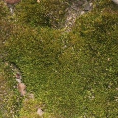Campylopus (A moss) at Acton, ACT - 23 Aug 2019 by PeteWoodall
