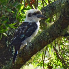 Dacelo novaeguineae (Laughing Kookaburra) at Brogo, NSW - 25 Jan 2020 by MaxCampbell