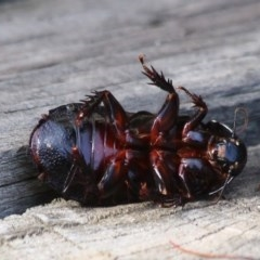 Panesthia sp. (Wood cockroach) at Ulladulla, NSW - 22 Jan 2020 by CBrandis