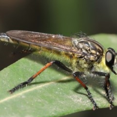 Zosteria rosevillensis (A robber fly) at ANBG - 15 Jan 2020 by TimL