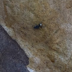 Polyrhachis sp. (TBC) at Murramarang National Park - 26 Jan 2020 by Jubeyjubes