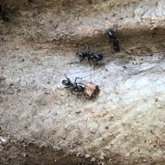 Iridomyrmex sp. (TBC) at Murramarang National Park - 26 Jan 2020 by Jubeyjubes