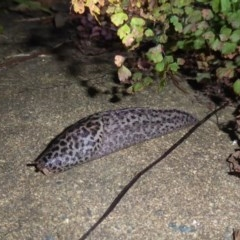 Unidentified Slug / Snail (TBC) at Mossy Point, NSW - 22 Jan 2020 by HelenR