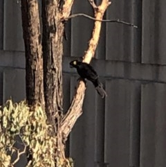 Zanda funereus (Yellow-tailed Black-Cockatoo) at Hughes Grassy Woodland - 21 Jan 2020 by JackyF