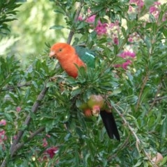 Alisterus scapularis (Australian King-Parrot) at Hughes, ACT - 25 Jan 2020 by JackyF