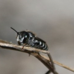 Megachile sp. (TBC) at South Pacific Heathland Reserve - 27 Jan 2020 by CBrandis