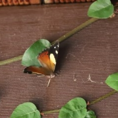 Vanessa itea (Yellow Admiral) at Cook, ACT - 27 Jan 2020 by Tammy