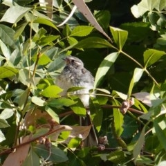 Rhipidura albiscapa (Grey Fantail) at Red Hill Nature Reserve - 27 Jan 2020 by JackyF