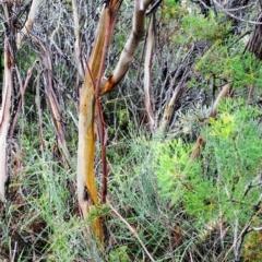 Eucalyptus obstans (Port Jackson Mallee) at Beecroft Peninsula, NSW - 18 Apr 2016 by NicholasdeJong