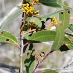 Eucalyptus obstans (Port Jackson Mallee) at Jervis Bay National Park - 2 Jun 2017 by NicholasdeJong