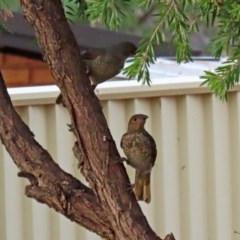 Ptilonorhynchus violaceus (Satin Bowerbird) at Macarthur, ACT - 27 Jan 2020 by RodDeb