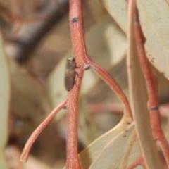 Anilara sp. (genus) (A jewel beetle) at Acton, ACT - 28 Jan 2020 by Harrisi