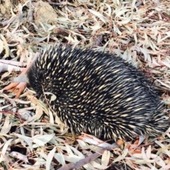 Tachyglossus aculeatus (Short-beaked Echidna) at Black Mountain - 27 Jan 2020 by RWPurdie