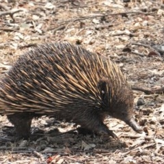 Tachyglossus aculeatus (Short-beaked Echidna) at Red Hill Nature Reserve - 29 Jan 2020 by JackyF