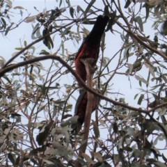Alisterus scapularis (Australian King-Parrot) at Hughes Grassy Woodland - 29 Jan 2020 by JackyF