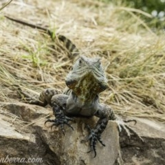 Intellagama lesueurii howittii (Gippsland Water Dragon) at Acton, ACT - 13 Dec 2019 by BIrdsinCanberra