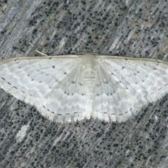 Idaea philocosma (Flecked Wave) at Coomee Nulunga Cultural Walking Track - 27 Jan 2020 by jbromilow50