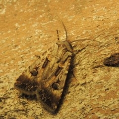 Agrotis munda (Brown Cutworm) at Conder, ACT - 6 Jan 2020 by michaelb