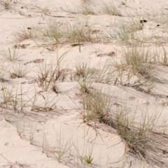 Spinifex sericeus (Beach Grass) at Ulladulla, NSW - 21 Feb 2017 by Nicholas de Jong