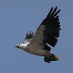 Haliaeetus leucogaster (White-bellied Sea-eagle) at Bendalong, NSW - 26 Jan 2020 by jbromilow50