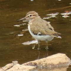 Actitis hypoleucos (Common Sandpiper) at Isobella Pond - 29 Jan 2020 by RodDeb