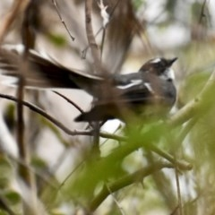 Rhipidura albiscapa (Grey Fantail) at Fowles St. Woodland, Weston - 30 Jan 2020 by AliceH