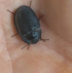 Pterohelaeus planus (Pie dish beetle) at Greenleigh, NSW - 31 Dec 2019 by LyndalT