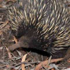 Tachyglossus aculeatus (Short-beaked Echidna) at ANBG - 15 Jan 2020 by Tim L