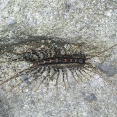 Scutigeridae sp. (family) (TBC) at Coomee Nulunga Cultural Walking Track - 26 Jan 2020 by jbromilow50
