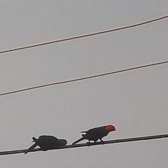Alisterus scapularis (Australian King-Parrot) at Kambah, ACT - 30 Jan 2020 by RosemaryRoth