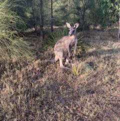 Macropus giganteus (Eastern Grey Kangaroo) at Bendalong, NSW - 20 Jan 2020 by PatB